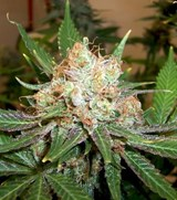 Green House Kings Kush