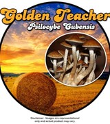 Golden Teacher - Psilocybe Cubensis